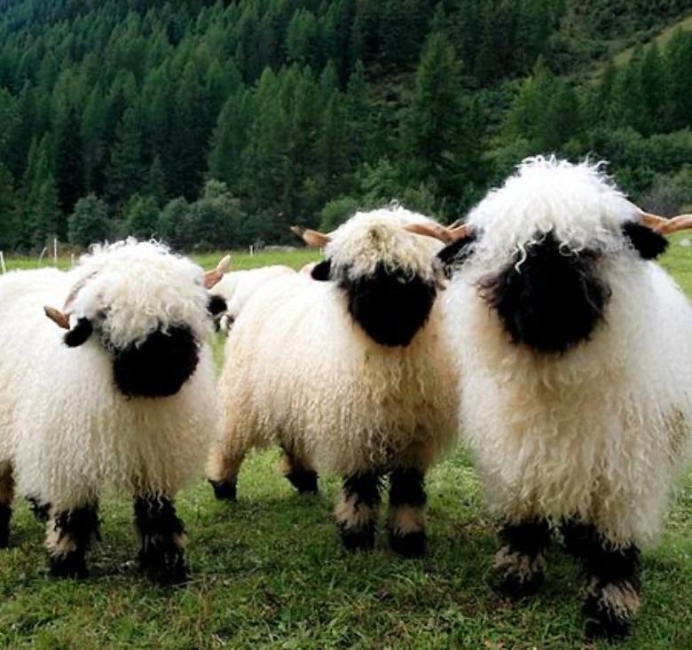 Schwarznasen Schafe - Krügers Zuchtbetrieb