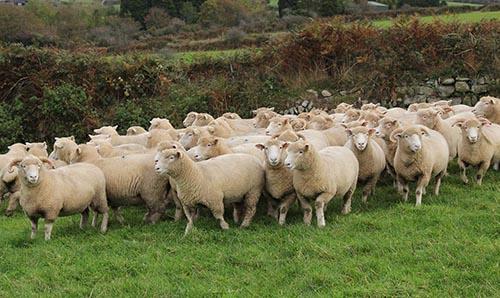 Poll Dorset Schaf - Krügers Zuchtbetrieb